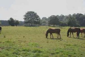 horses-grazing-2